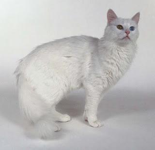 Lia 07 Blogger Membedakan Antara Kucing Persia Dan Anggora