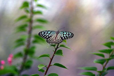 Mariposa tornasol en las plantas de mi jardín - Butterfly in my garden