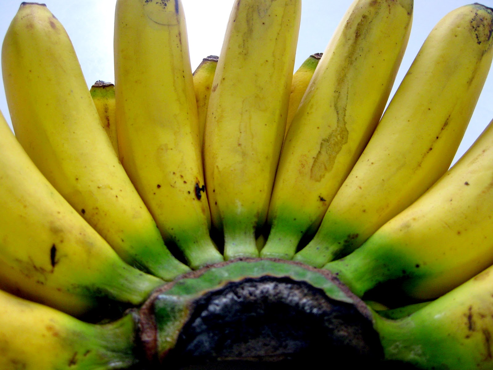 ... the banana is among the five fruits that can augment sex drive and ...