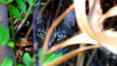 Feral Cats Versus Invasive Rats