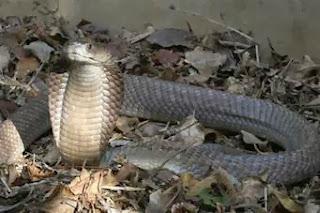 sengatan ular berbisa