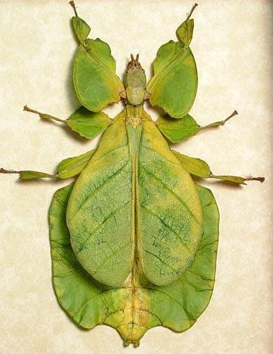 foto: insecto hoja Phyllium