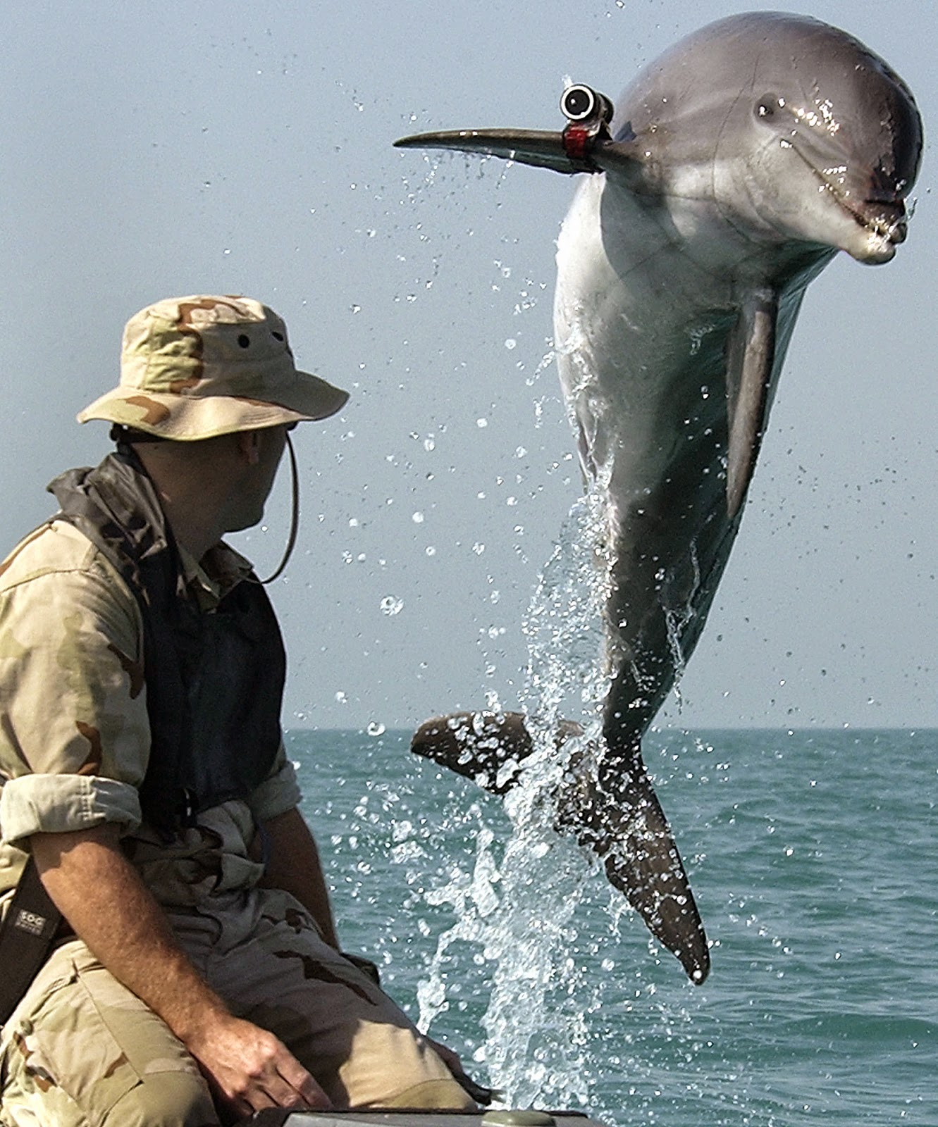 bottlenose dolphin courtesy U.S. Navy