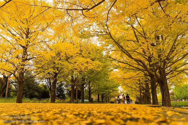 紅葉した銀杏並木を地面スレスレから写した写真