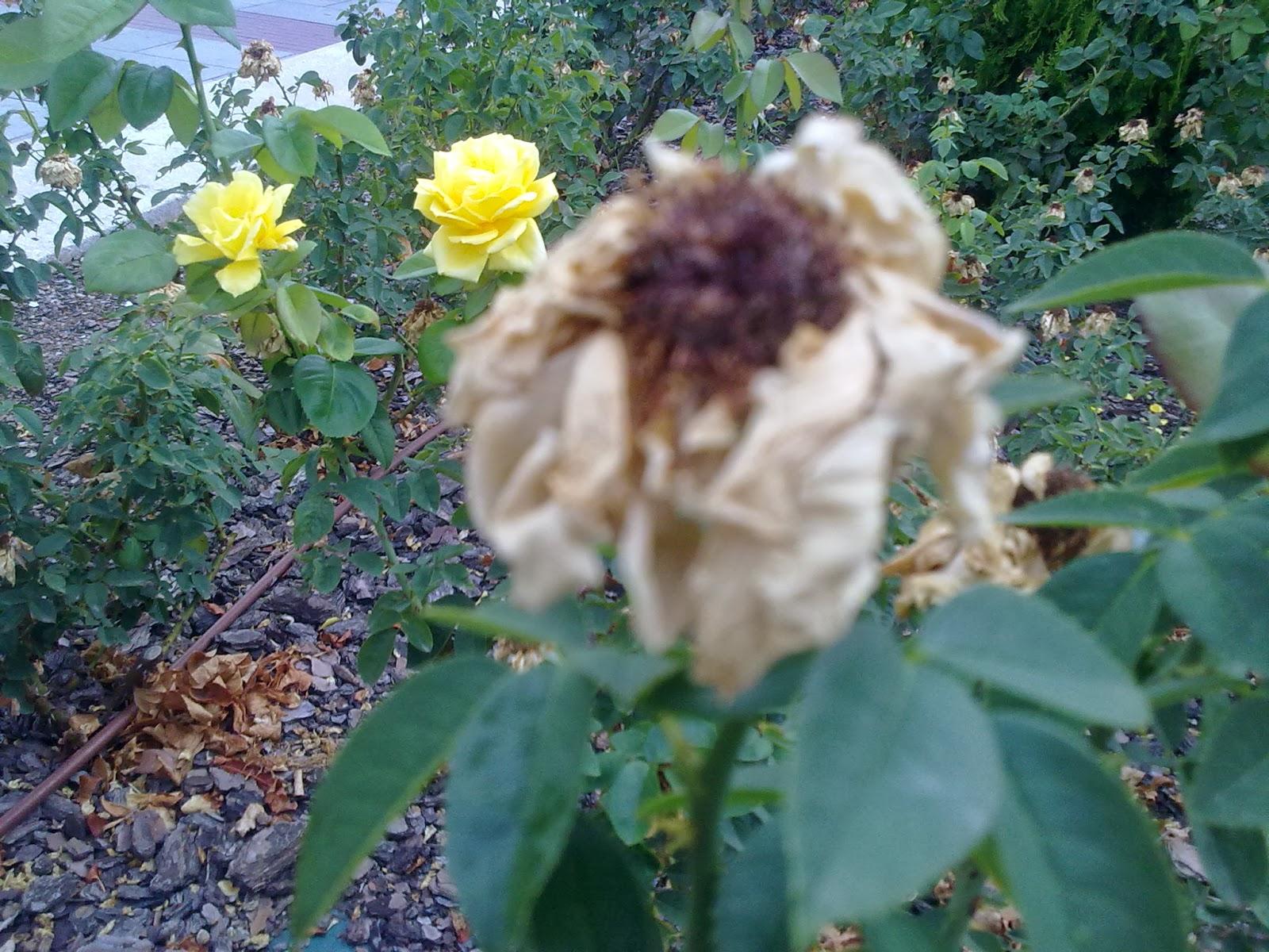Imagenes De Rosas Marchitas - Flores Marchitas Imágenes De Archivo Vectores 123RF