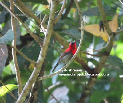 Crimson Sunbird in Dairy Farm Nature Park
