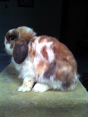 holland lop molting