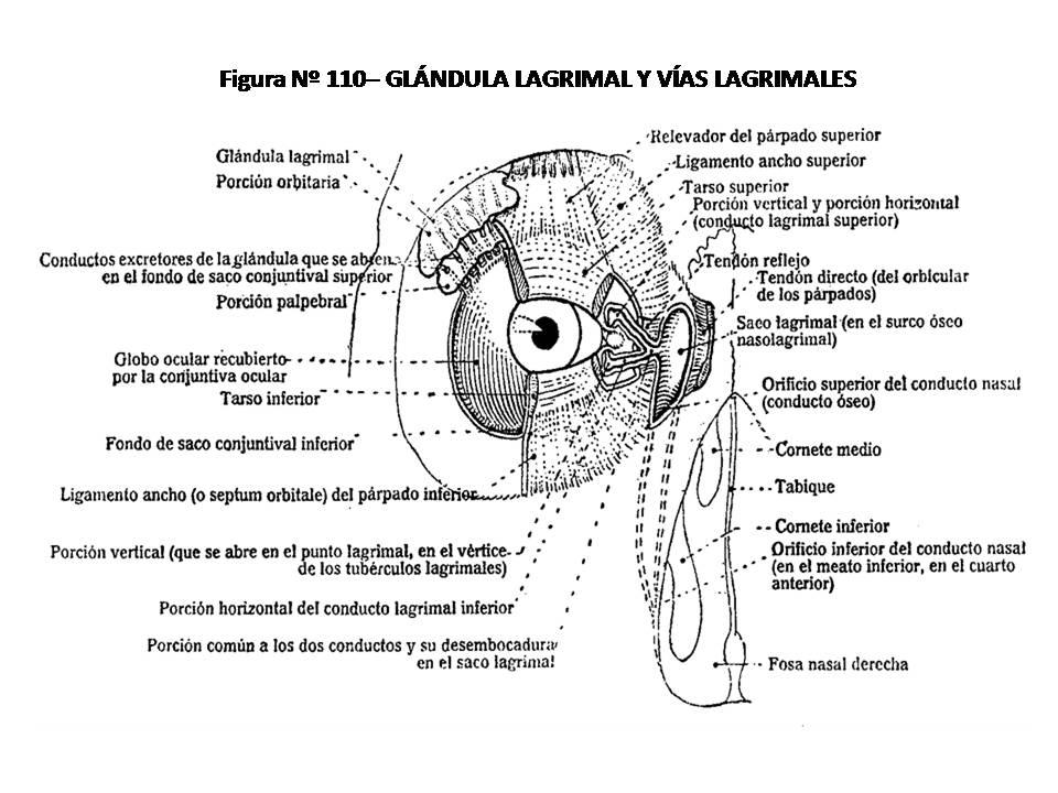 ATLAS DE ANATOMÍA HUMANA: 110. GLÁNDULA LACRIMAL Y VÍAS LACRIMALES