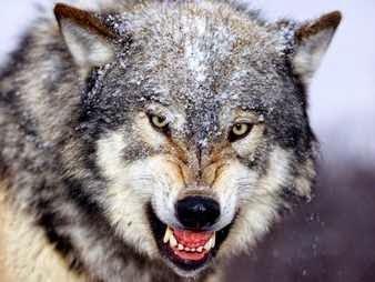 Los lobos en los sueños