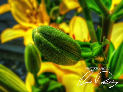 in bloom flower flowers yellow lily bu buds spring summer