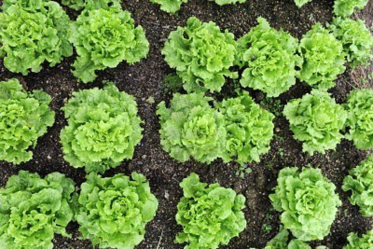 Выращивание салатов и их сорта 454