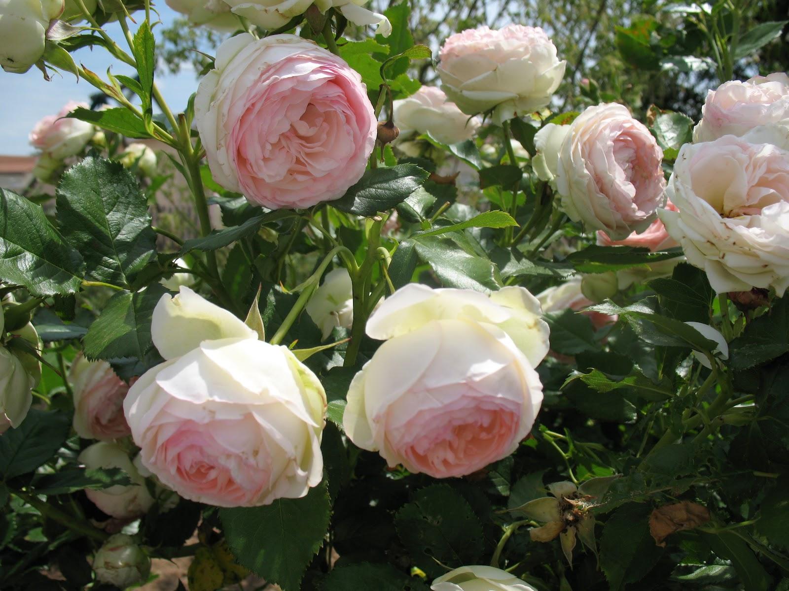 Roses du jardin ch neland rosier pierre de ronsard - Quand couper les rosiers ...
