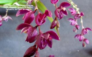 Aciantheta purpureoviolacea do blogdabeteorquideas