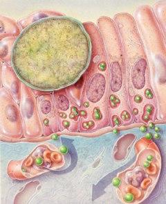 Azithromycin in early pregnancy
