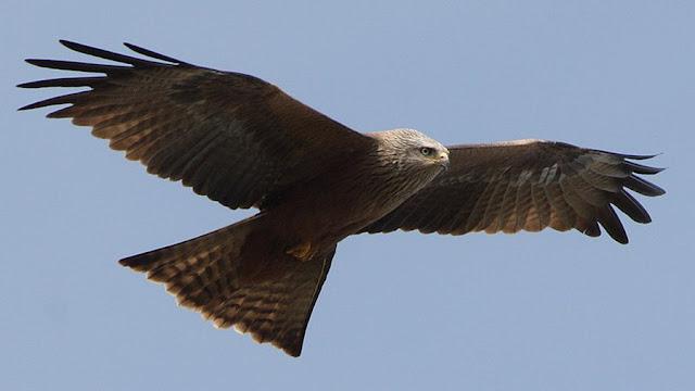 Milvus migrans - Fauna Iberica - Fauna Española - http://spanishfauna.blogspot.com.es