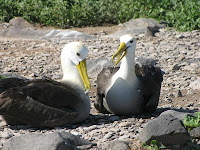Waved Albatross on Espanola Island Suarez Point Galapagos