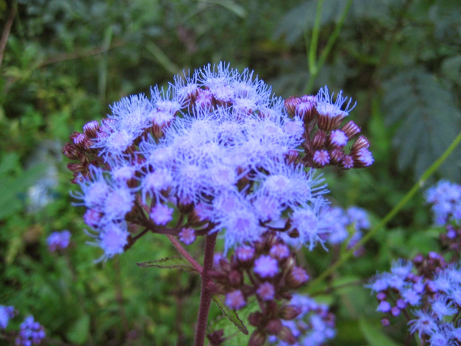 Discovering his creation blue mistflower conoclinium coelestinum blue mistflower conoclinium coelestinum izmirmasajfo