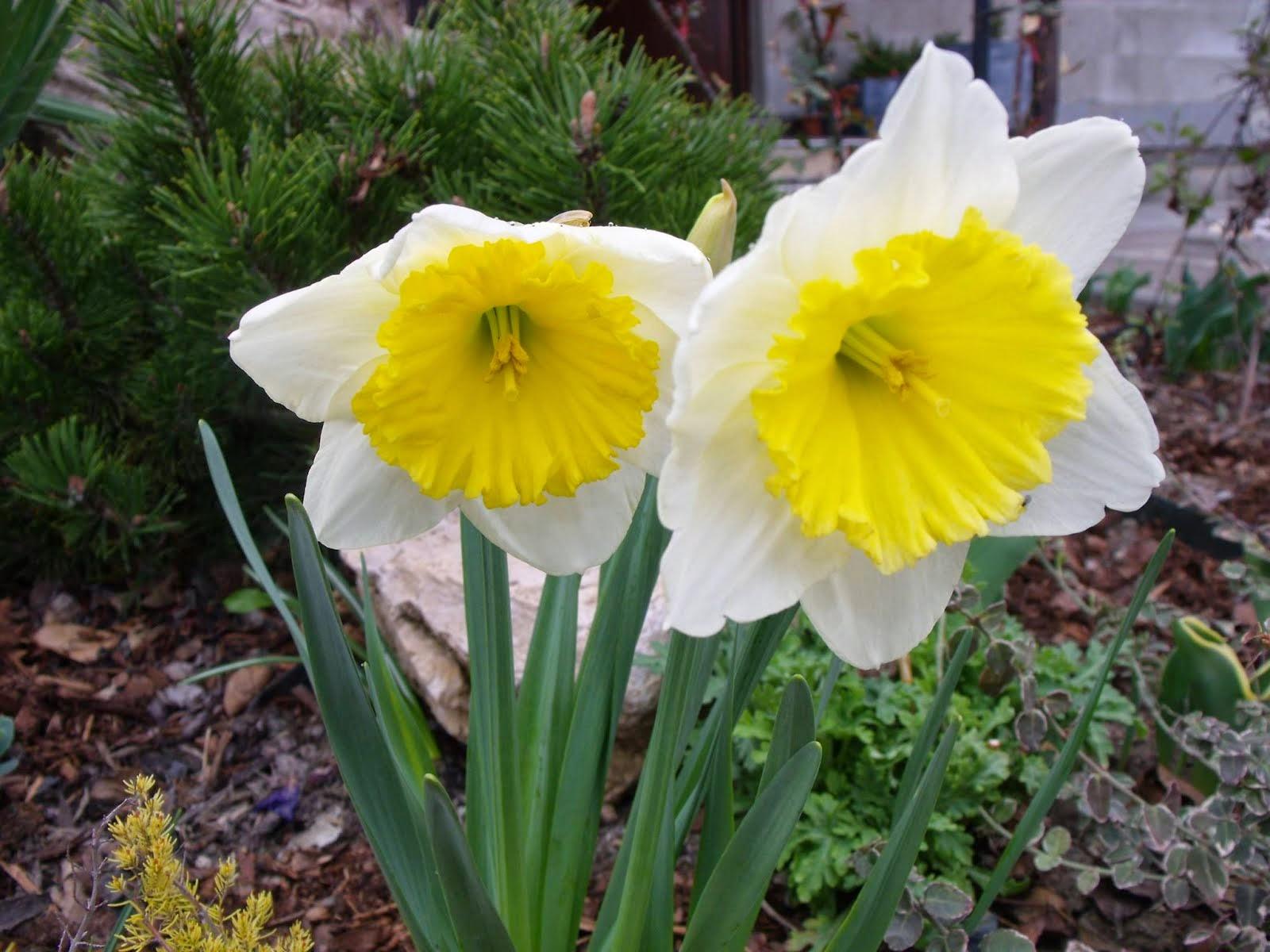 Narcis zahradní