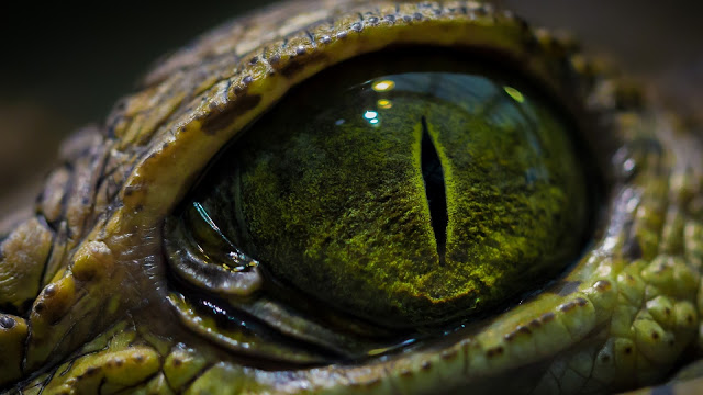 Reptile Eye HD Wallpaper