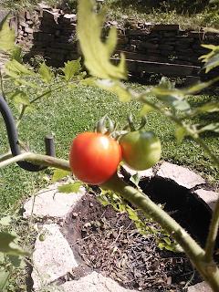 Ripe cherry tomato
