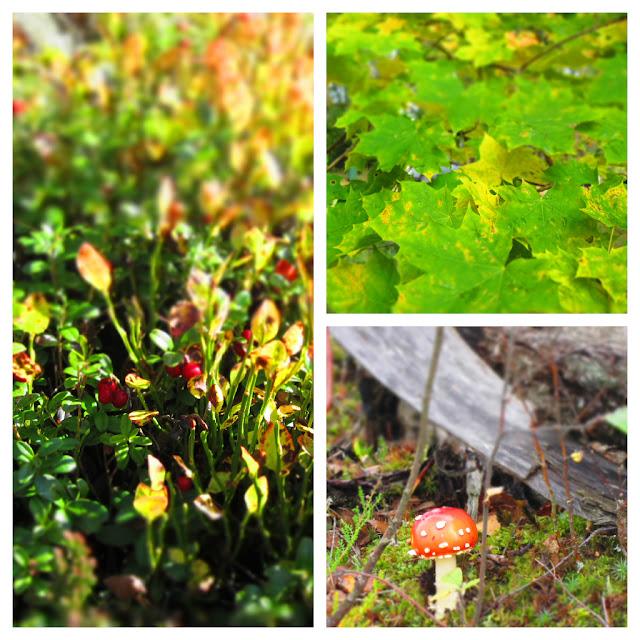Beerenstrauch, Ahornblätter und ein Fliegenpilz in Schweden