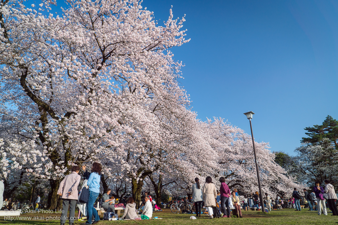 小金井公園の桜の写真 その2