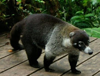 big bruiser male coati ready for action