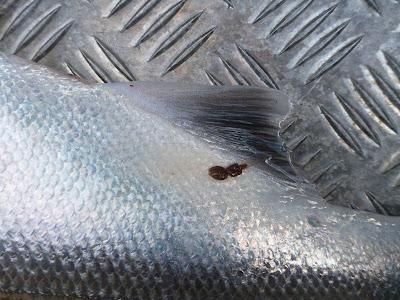Salmon Louse on a Salmon