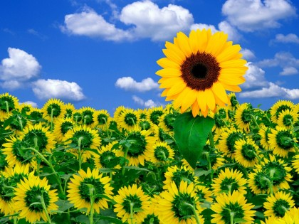 sunflowers wallpaper. Flower Wallpaper 1024 1.1