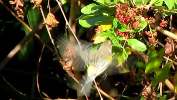 Yellow Rumped Warbler Eating Brazilian Peppers