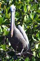 Pelican in Mangroves at Elizabeth Bay, Isabela Island, Galapagos