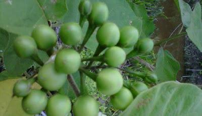 Manfaat buah tekokak untuk mata