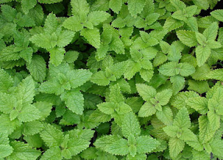Lemon Balm Photo