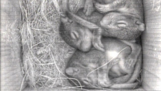 Baby Gray Squirrels in Nest Box