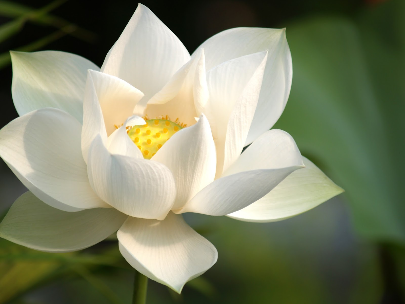 Welcome to my blog symbol of lotus flowers white lotus izmirmasajfo Gallery