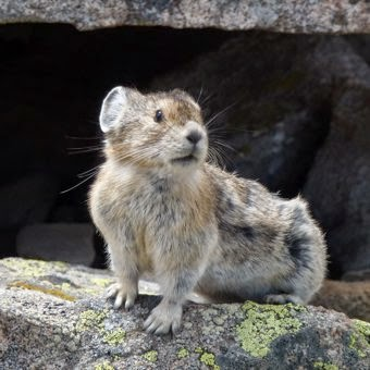 Climate change is expected to drive one in six species to extinction. The American pika, a small mouse-like mammal intolerant of heat, has already disappeared from more than one-third of its known mountain habitats. (Credit: Jim Kravitz/Flickr) Click to Enlarge.