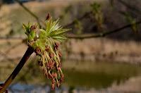 Male boxelder (Acer negundo)