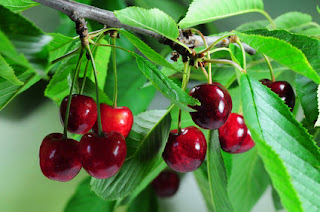 Barbados cherry tree
