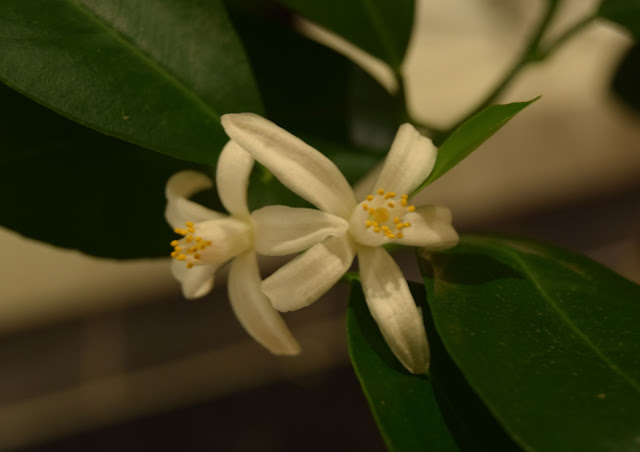Citrus Calamondin blommar