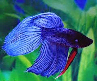 Info on Freshwater Tropical Fish Care for Betta Fish - Freshwater Fish