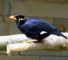 Cara Memelihara Burung Beo