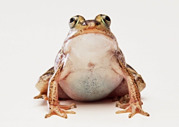 Stock Photo Gambar Katak High Resolution