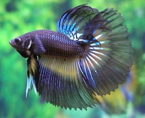 Betta fish farming beta splendes animal pets for Ornamental fish