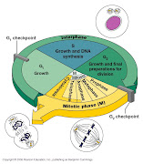When a cell reaches the stage of 'Mitosis' the cell must then undergo the .