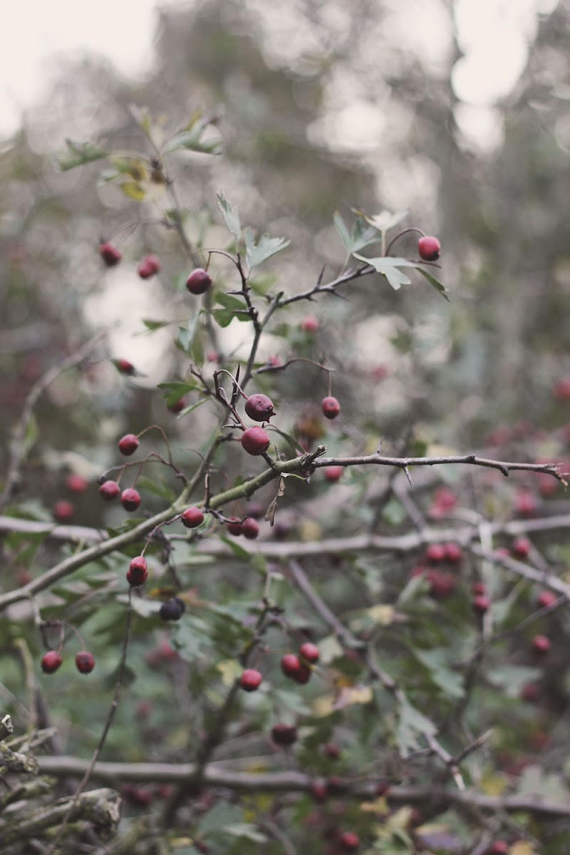 winter berry picture