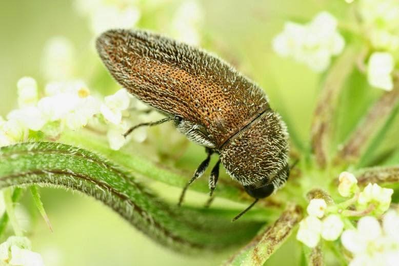 Acmaeoderella gibbulosa