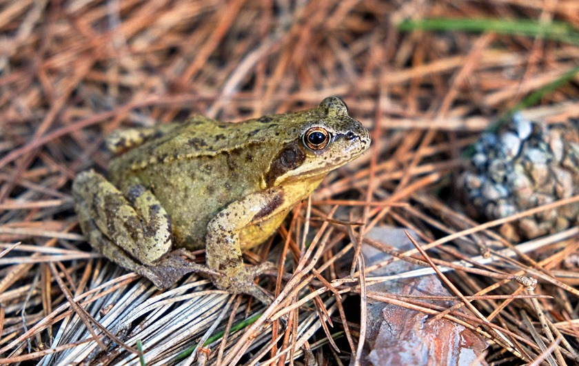 common brown frog