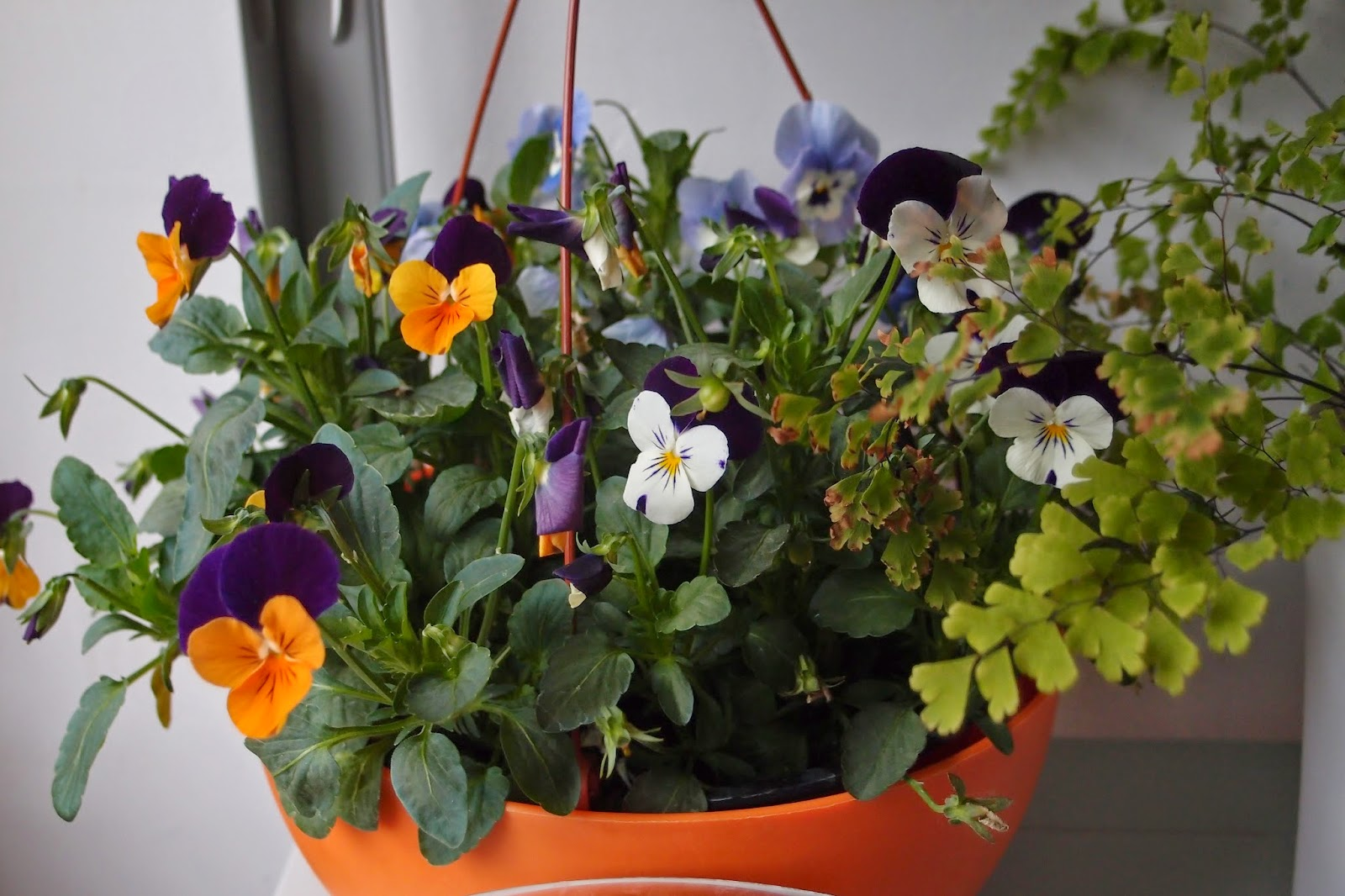 my violas - colrfil and vivid