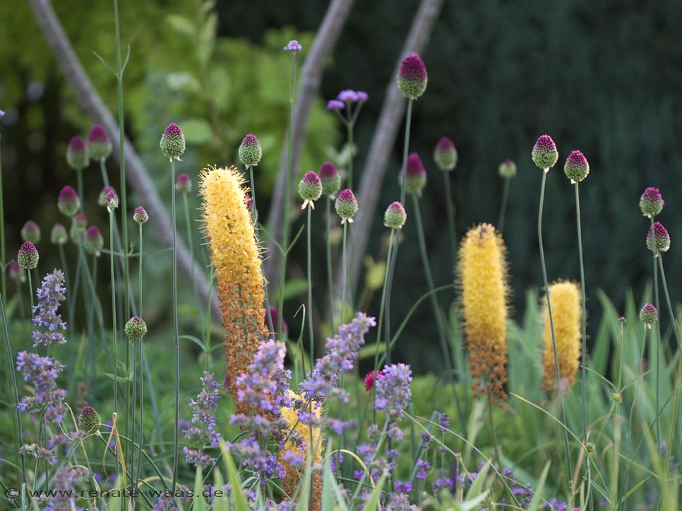gartenblog geniesser-garten : staudenbeet planen - allium, Garten seite