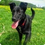 Небольшая черная собака